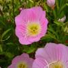 野に咲く花 昼咲き月見草