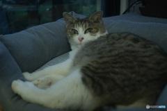オールドレンズで きんちゃん(猫)