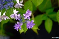 オールドレンズで 紫陽花