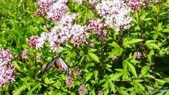 アサギマダラの好きな花