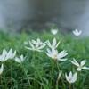 オールドレンズで 夏の終わりの白い花