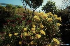 土手の黄色い菊