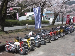 家山 桜トンネル  モンキー Z50M