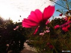 川沿いに咲くコスモス  2