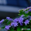 ガレージ横の紫陽花 4