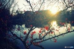 夕陽と梅 1