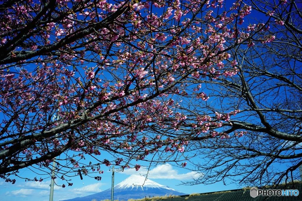 富士山 3  早咲きの桜