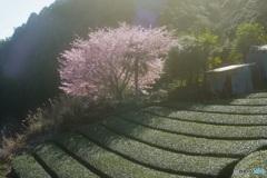 オールドレンズで 岡部の桜