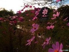 川沿いに咲くコスモス