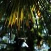 シュロの木 2