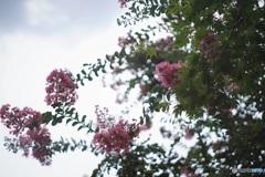 オールドレンズで 庭の百日紅