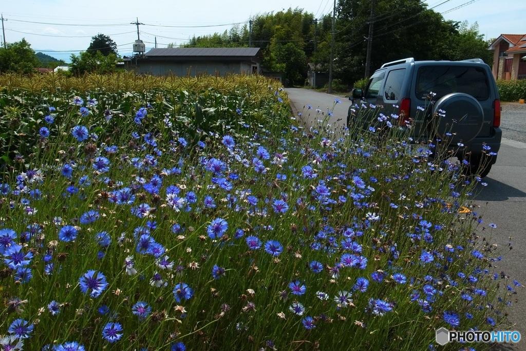 矢車草の咲く道  2