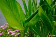 オールドレンズで  大きな緑の葉