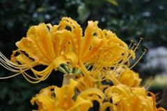オレンジの彼岸花