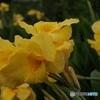 カンナ 黄色 3