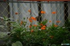 花壇の花 2