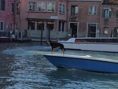 ベネツィアの犬