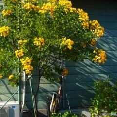 青い壁と黄色の花