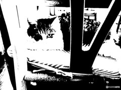 黒か白 3 白サバトラ猫 きんちゃん