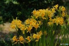 黄色の彼岸花 2