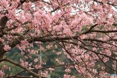 桜 満開 2