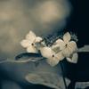 紫陽花BW