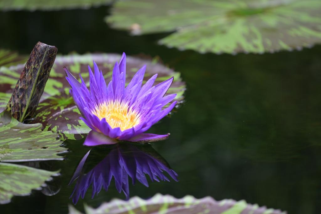 咲くやこの花館 スイレン