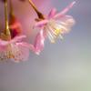 三浦海岸河津桜の下見❣️