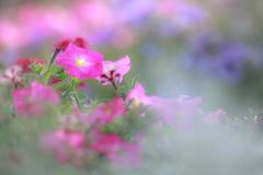 苦しい時のペチュニア花壇頼み❣️