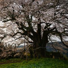 悠久の桜 Coming Soon