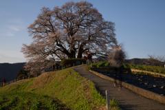 悠久の桜人