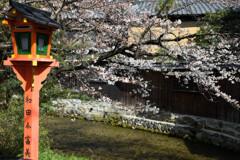 祇園白川にかかる桜の枝と燈明
