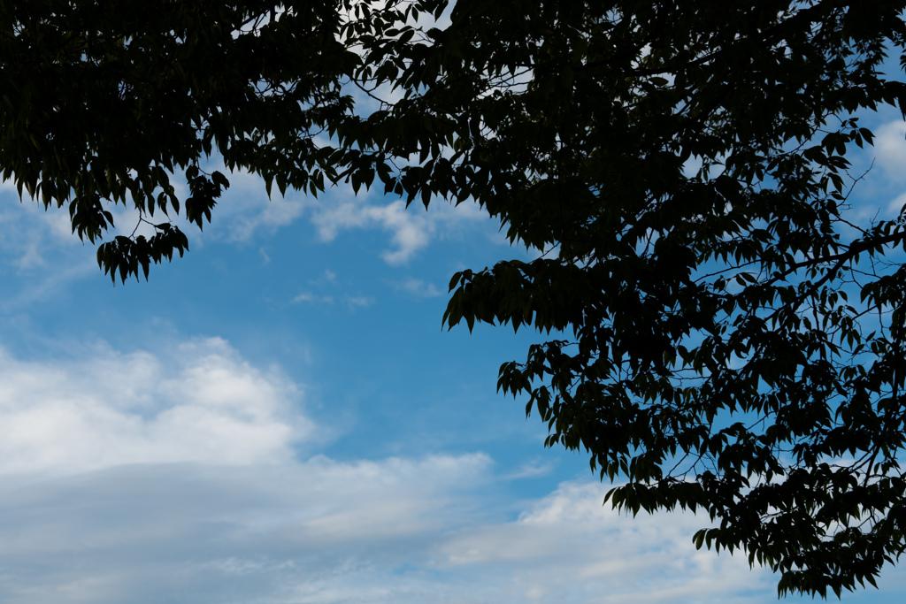 木と夏の雲