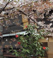 祇園白川05_桜と椿