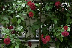 バラ-垣根