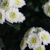 白い小菊 かわいいね。