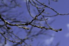 桜の芽ぶき