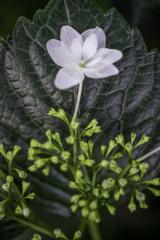 額紫陽花。。。白一輪