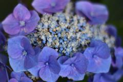 咲きほこる