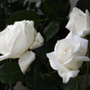 白いバラが。。。