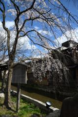 祇園白川 しだれ桜