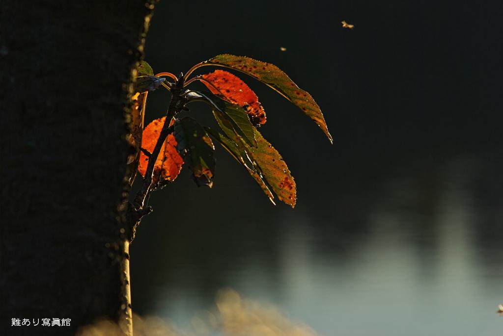 晩秋を告げる シロコババ