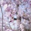 上尾丸山公園の桜
