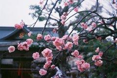 近所の梅の花