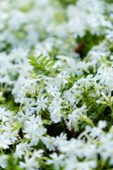 ホワイト芝桜
