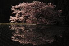 幽玄-諸木野の桜