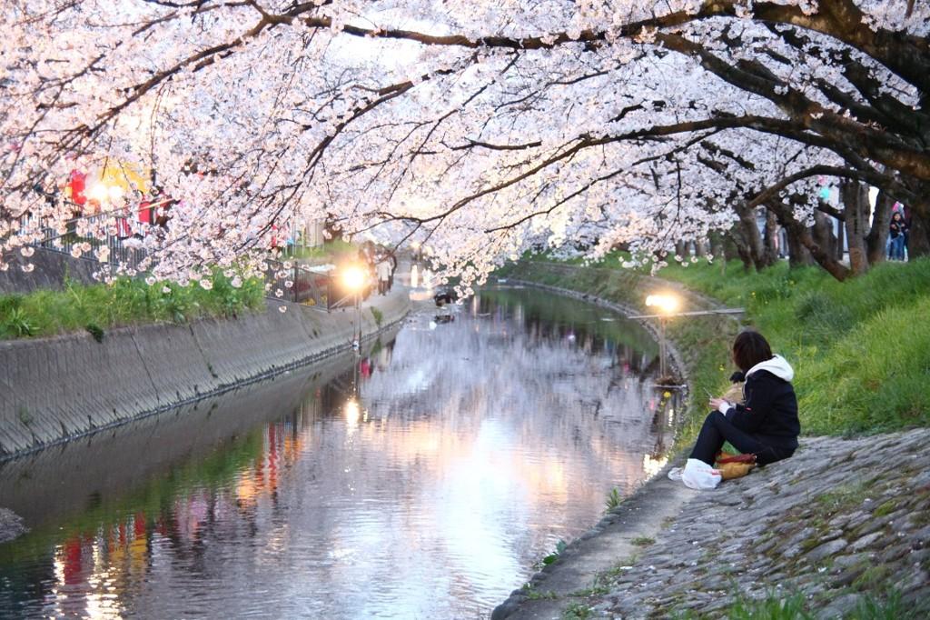 五条川夜桜