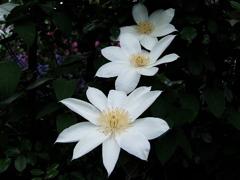 真白き花たち