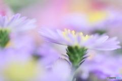 Light purple mumⅡ