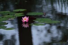 雨の日の睡蓮
